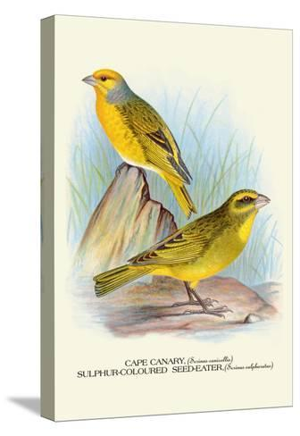 Cape Canary, Sulphur-Coloured Seed-Eater-Arthur G^ Butler-Stretched Canvas Print
