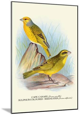 Cape Canary, Sulphur-Coloured Seed-Eater-Arthur G^ Butler-Mounted Art Print