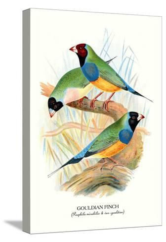 Gouldian Finch-Arthur G^ Butler-Stretched Canvas Print