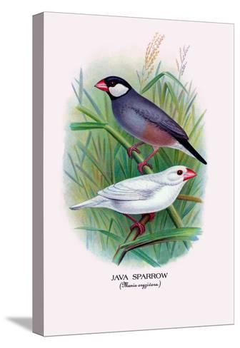Java Sparrow-Arthur G^ Butler-Stretched Canvas Print