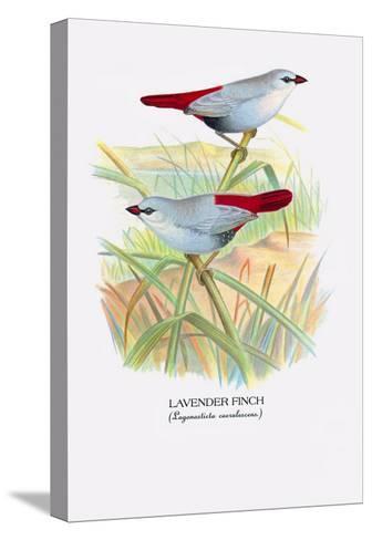Lavender Finch-Arthur G^ Butler-Stretched Canvas Print