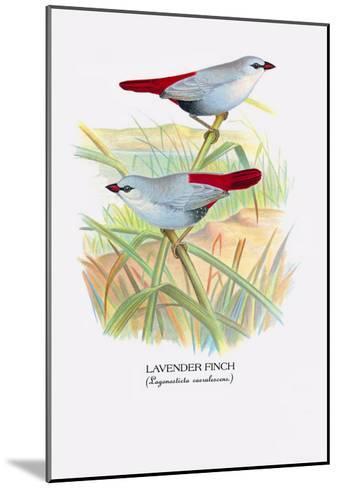Lavender Finch-Arthur G^ Butler-Mounted Art Print