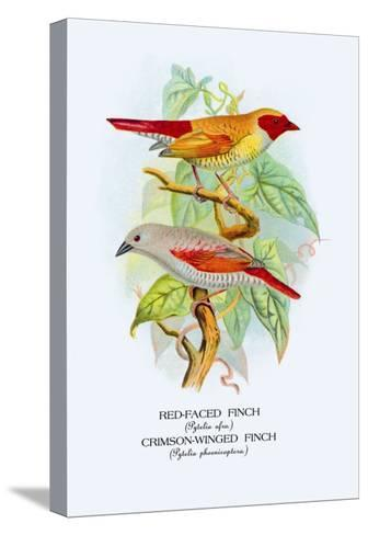 Red-Faced Finch, Crimson-Winged Finch-Arthur G^ Butler-Stretched Canvas Print