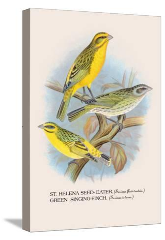 St. Helena Seed-Eater, Green Singing-Finch-Arthur G^ Butler-Stretched Canvas Print