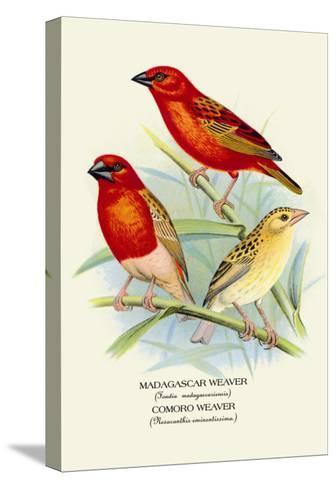 Madagascar Weaver, Comoro Weaver-Arthur G^ Butler-Stretched Canvas Print