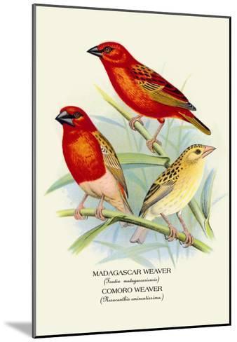 Madagascar Weaver, Comoro Weaver-Arthur G^ Butler-Mounted Art Print