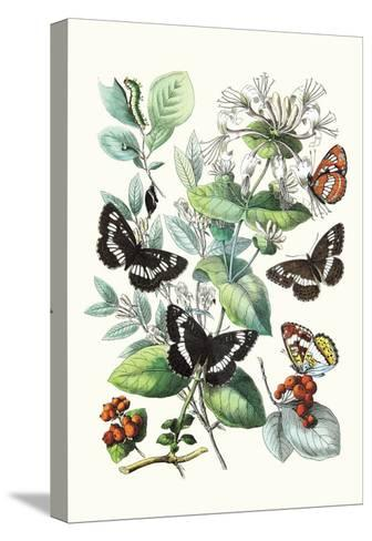 Butterflies: N. Lucilla, L. Sibylla-William Forsell Kirby-Stretched Canvas Print