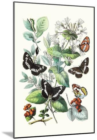 Butterflies: N. Lucilla, L. Sibylla-William Forsell Kirby-Mounted Art Print