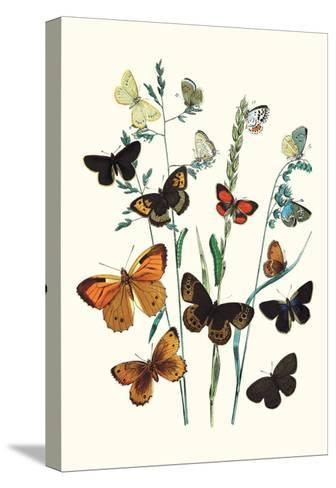 Butterflies: L. Roboris, P. Orion-William Forsell Kirby-Stretched Canvas Print