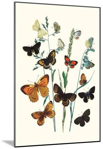 Butterflies: L. Roboris, P. Orion-William Forsell Kirby-Mounted Art Print