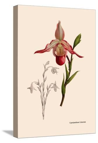 Orchid: Cypripedium Calurum-William Forsell Kirby-Stretched Canvas Print