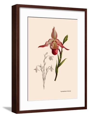 Orchid: Cypripedium Calurum-William Forsell Kirby-Framed Art Print