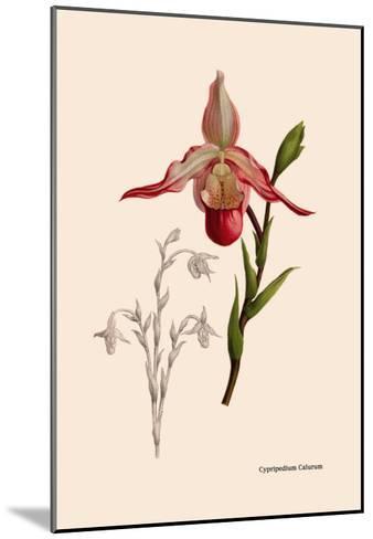 Orchid: Cypripedium Calurum-William Forsell Kirby-Mounted Art Print
