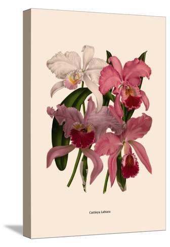 Orchid: Cattleya Labiata--Stretched Canvas Print
