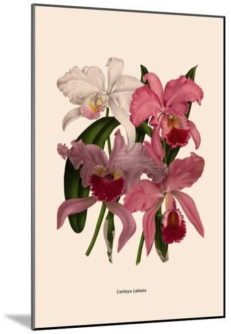 Orchid: Cattleya Labiata--Mounted Art Print