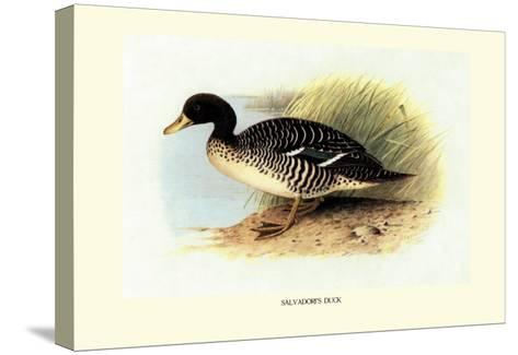 Salvadori's Duck-Henrick Gronvold-Stretched Canvas Print