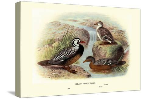 Chilean Torrent Ducks-Henrick Gronvold-Stretched Canvas Print
