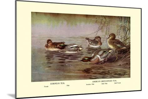 European and American Teal Duck-Allan Brooks-Mounted Art Print