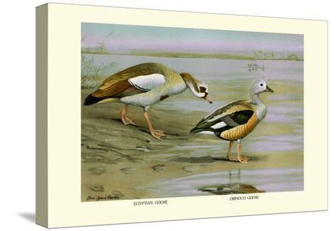 Egyptian and Orinoco Goose-Louis Agassiz Fuertes-Stretched Canvas Print