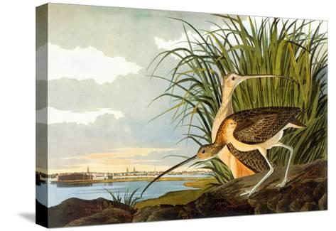 Long-Billed Curlew-John James Audubon-Stretched Canvas Print