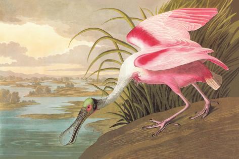 Roseate Spoonbill-John James Audubon-Stretched Canvas Print