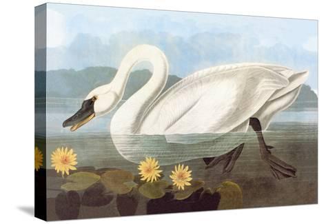 Whistling Swan-John James Audubon-Stretched Canvas Print