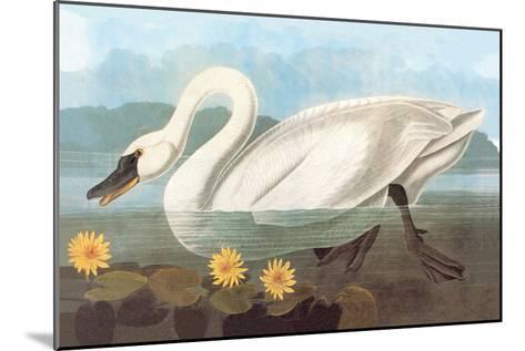 Whistling Swan-John James Audubon-Mounted Art Print