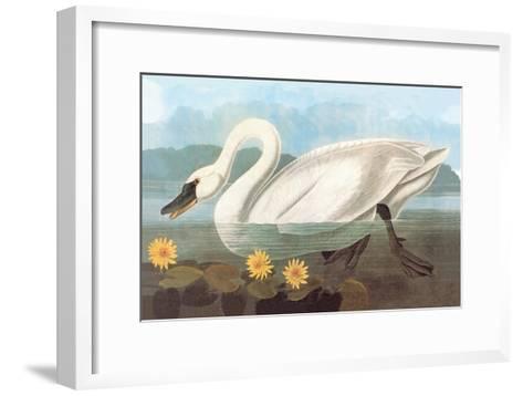 Whistling Swan-John James Audubon-Framed Art Print