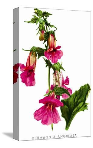 Rehmannia Angulata-H^g^ Moon-Stretched Canvas Print