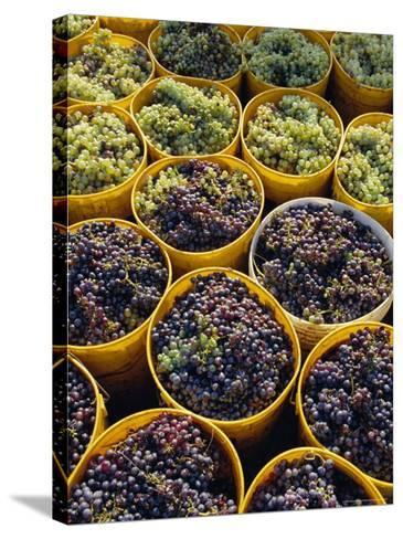 Picked Grapes in a Vineyard, Pisa, Tuscany, Italy, Europe-Michael Newton-Stretched Canvas Print