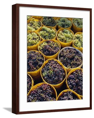 Picked Grapes in a Vineyard, Pisa, Tuscany, Italy, Europe-Michael Newton-Framed Art Print