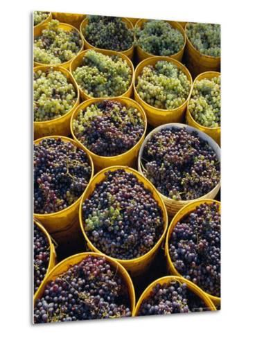 Picked Grapes in a Vineyard, Pisa, Tuscany, Italy, Europe-Michael Newton-Metal Print