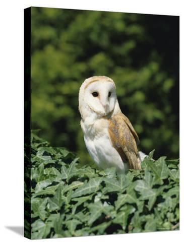 Portrait of a Barn Owl (Tyto Alba)-Philip Craven-Stretched Canvas Print
