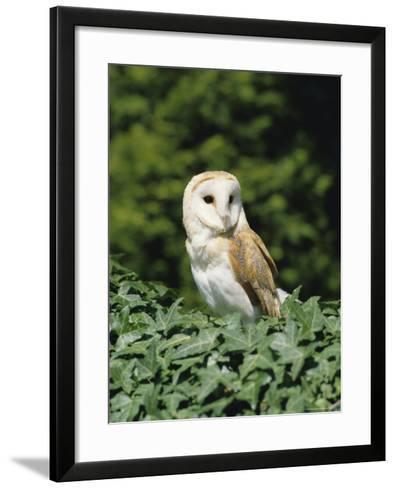Portrait of a Barn Owl (Tyto Alba)-Philip Craven-Framed Art Print