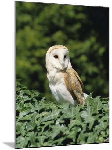 Portrait of a Barn Owl (Tyto Alba)-Philip Craven-Mounted Photographic Print