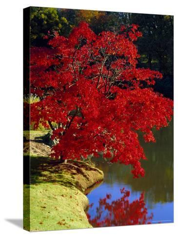 Brilliant Red Acer Palmatum Cripsii in Autumn, Sheffield Park Gardens, East Sussex, England-Ruth Tomlinson-Stretched Canvas Print