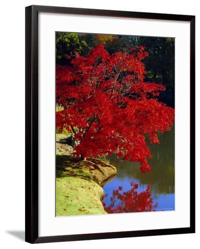 Brilliant Red Acer Palmatum Cripsii in Autumn, Sheffield Park Gardens, East Sussex, England-Ruth Tomlinson-Framed Art Print