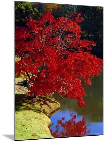 Brilliant Red Acer Palmatum Cripsii in Autumn, Sheffield Park Gardens, East Sussex, England-Ruth Tomlinson-Mounted Photographic Print
