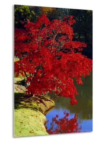 Brilliant Red Acer Palmatum Cripsii in Autumn, Sheffield Park Gardens, East Sussex, England-Ruth Tomlinson-Metal Print