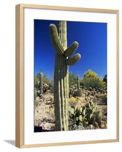 Saguaro Cacti, Arizona-Sonora Desert Museum, Tucson, Arizona, United States of America (U.S.A.)-Ruth Tomlinson-Framed Art Print