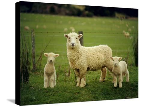 Ewe and Twin Lambs on Sheep Farm, Marlborough, South Island, New Zealand-Julia Thorne-Stretched Canvas Print