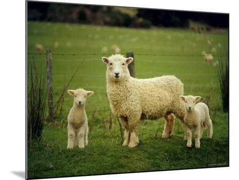 Ewe and Twin Lambs on Sheep Farm, Marlborough, South Island, New Zealand-Julia Thorne-Mounted Photographic Print