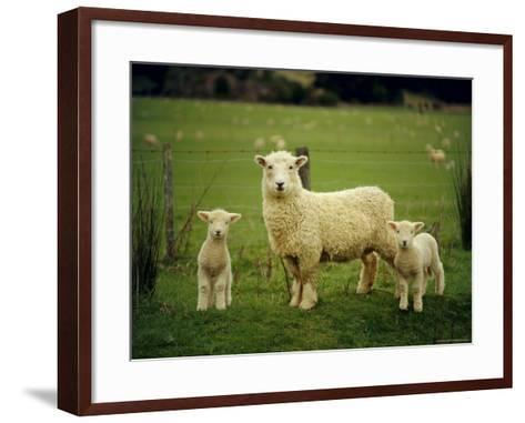 Ewe and Twin Lambs on Sheep Farm, Marlborough, South Island, New Zealand-Julia Thorne-Framed Art Print