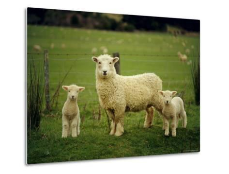 Ewe and Twin Lambs on Sheep Farm, Marlborough, South Island, New Zealand-Julia Thorne-Metal Print