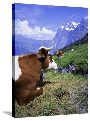 Cows at Alpiglen, Grindelwald, Bernese Oberland, Swiss Alps, Switzerland, Europe-Hans Peter Merten-Stretched Canvas Print