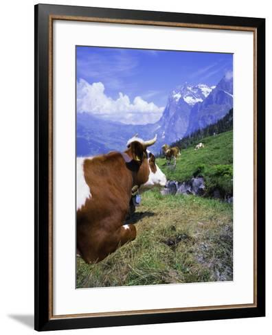 Cows at Alpiglen, Grindelwald, Bernese Oberland, Swiss Alps, Switzerland, Europe-Hans Peter Merten-Framed Art Print