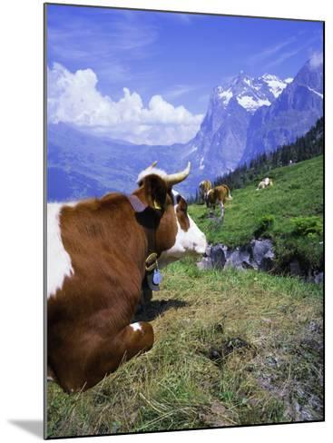 Cows at Alpiglen, Grindelwald, Bernese Oberland, Swiss Alps, Switzerland, Europe-Hans Peter Merten-Mounted Photographic Print