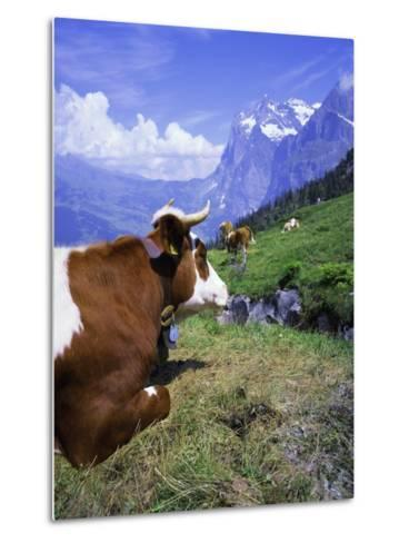 Cows at Alpiglen, Grindelwald, Bernese Oberland, Swiss Alps, Switzerland, Europe-Hans Peter Merten-Metal Print
