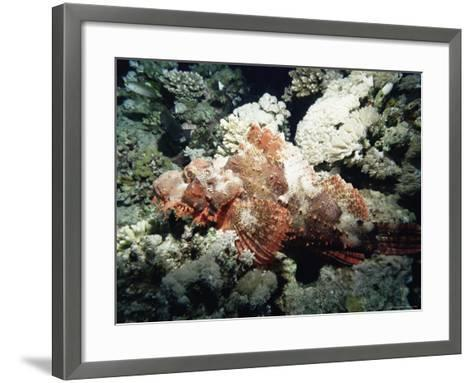 Deadly Stone Fish, off Sharm El-Sheikh, Sinai, Red Sea, Egypt, North Africa, Africa-Upperhall Ltd-Framed Art Print