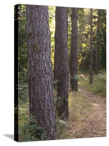 Woodland Path Trough Scots Pine Trees, Pinus Sylvestris, Norfolk, England-Amanda Hall-Stretched Canvas Print